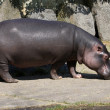 Hippo in zoopraha — Stock Photo