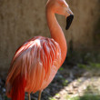 Pink Flamingo - Stock Photo