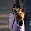 Decorative dog sitting in a bag - Stock Photo