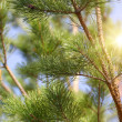 Stock Photo: Background coniferous forest