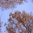 Texture of blue sky and treetops — Stock Photo #1831165