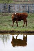 Krowy i jeziora — Zdjęcie stockowe