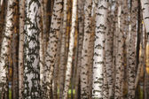 The texture of the trunks of birch — Stock Photo