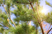 Background coniferous forest — Stock Photo