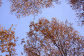 Texture of blue sky and treetops — Stock Photo