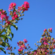 Pink flowers against blue sky — Stock Photo #1842138