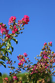 Pink flowers against the blue sky — Stock Photo