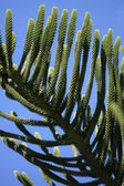 Coniferous branch against the blue sky — Stock Photo