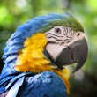 Blue and yellow Parrot - Stock Photo