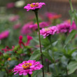 Stock Photo: Meadow lilac gerberas