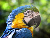 Blue and yellow Parrot — Stock Photo