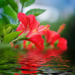 Flowers with reflection in water — Stock Photo #2082594