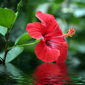 Flowers with reflection in water — Stock Photo