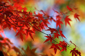Red japanese maple background — Stock Photo