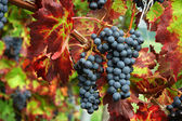 Red grapes with colorful leaves — Stock Photo