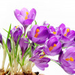 Crocus — Stock Photo #1646083