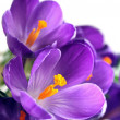 Crocus — Stock Photo #1646123
