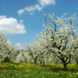 Blossoming cherry trees. Germany — Stock Photo #1646491