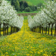 Blossoming cherry trees. Germany — Stock Photo #1646544