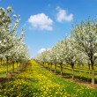 Blossoming cherry trees. Germany — Stock Photo #1646560