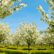 Blossoming cherry trees. Germany — Stock Photo #1646612