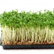 Fresh cress — Stock Photo #1647440