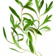 Tarragon - Stock Photo