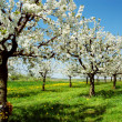 Blossoming cherry trees. Germany — Stock Photo #1647754