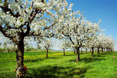 Blossoming cherry trees. Germany — Stock Photo