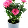 Roses in ceramic pot - Stock Photo