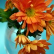 Orange chrysanthemum on blue background — Stock Photo