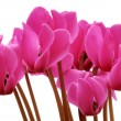 Cyclamen — Stock Photo #1657619