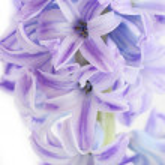 Blue hyacinth — Stock Photo #1657927