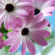 Stock Photo: Pink daisies bouquet