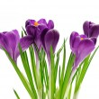Crocus isolated on white background — Stock Photo