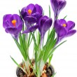 Crocus isolated on white background — Stock Photo #1658143