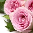 Pink roses closeup — Stock Photo