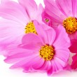 Pink cosmos flowers — Stock Photo #1658284