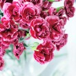 Stock Photo: Pink carnation