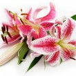 Pink lily — Stock Photo #1658503