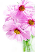 Pink cosmos flowers — Stock Photo