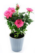 Roses in ceramic pot — Stock Photo