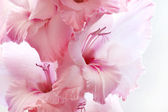 Pink gladiolus on white background — Stock Photo