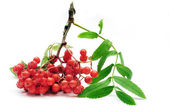 Ashberry branch on white background — Stock Photo