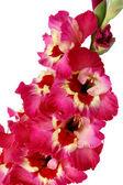 Pink gladiolus on white background — Stock Photo