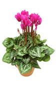 Cyclamen in the pot — Stock Photo
