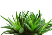 Aloe — Stock Photo