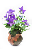 Bluebell in the pot — Stock Photo