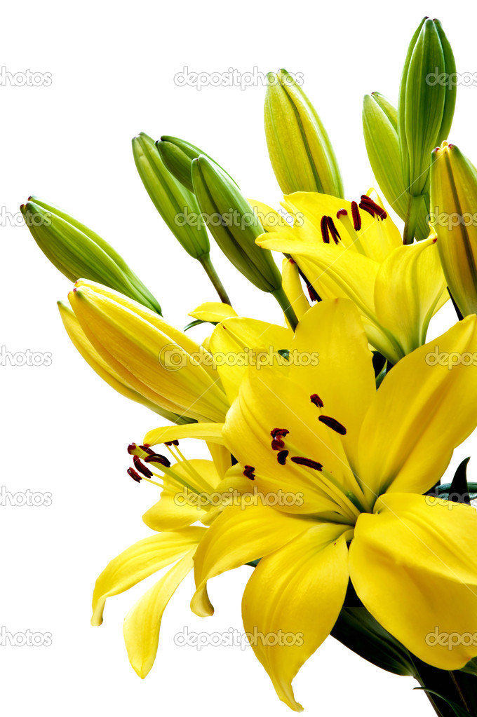 Yellow lily — Stock Photo #1656575