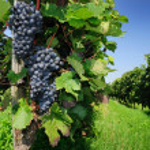 Vineyard, The Rhine valley, Germany — Stock Photo #1668813